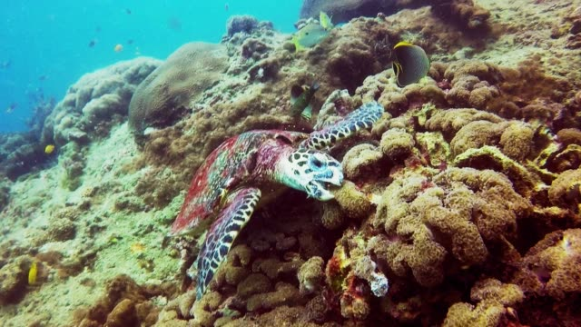 animal behaviour - critically endangered species hawksbill sea turtle (eretmochelys imbricata) - foraging stock videos & royalty-free footage