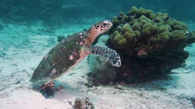animal behaviour hawksbill sea turtle eating coral - animal behaviour stock videos & royalty-free footage