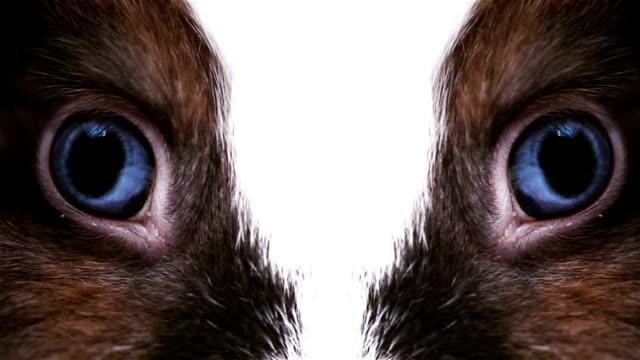 Animal blue Augen