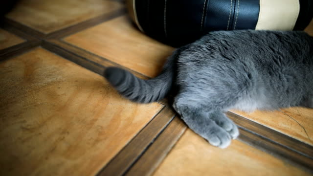 animal body part of a grey cat lying on the floor at home indoor - animal body part stock videos & royalty-free footage