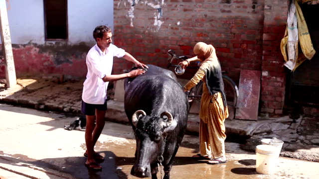 animal care in rural india - women doing farm animals stock videos and b-roll footage