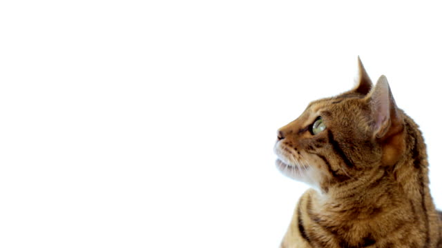 animal cinemagraph (photo in motion) of a cat - tranquil scene stock videos & royalty-free footage