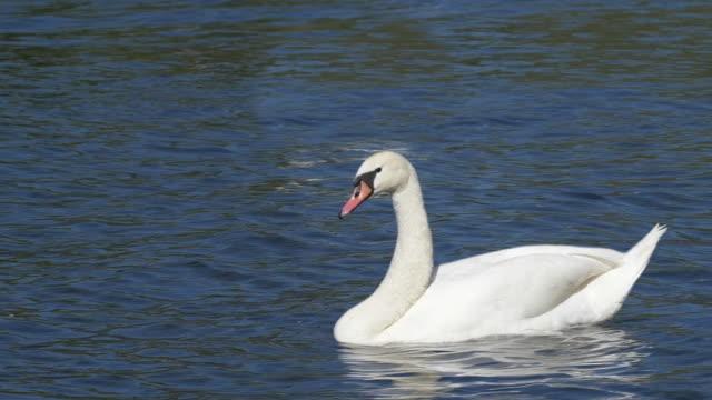 animal cinemagraph, white swan swimming - シネマグラフ点の映像素材/bロール