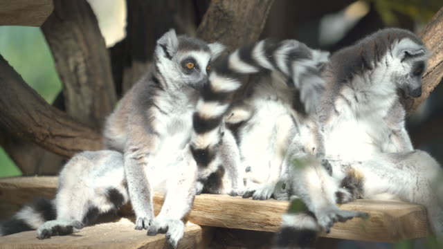 vídeos de stock e filmes b-roll de animal cinemagraphs - 4k group of lemurs - grupo pequeno de animais