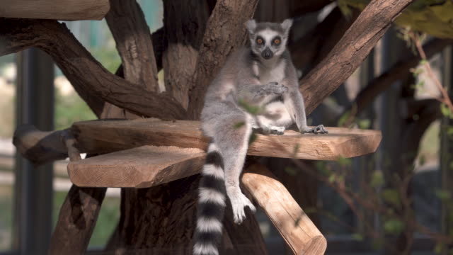 stockvideo's en b-roll-footage met animal cinemagraphs - 4k lemur moving tongue - dierentuin