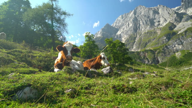 vídeos de stock, filmes e b-roll de animal cinemagraphs, cows relaxing in alpine terrain - pasture