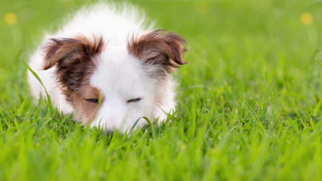 animal cinemagraphs- dog sleeping opening and closing eyes loop - idyllic stock videos & royalty-free footage