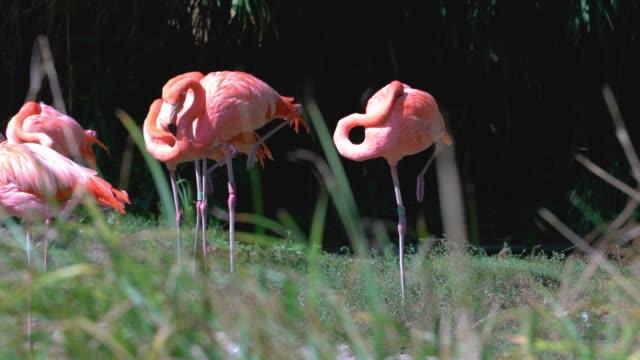 animal cinemagraphs - flamingo - シネマグラフ点の映像素材/bロール