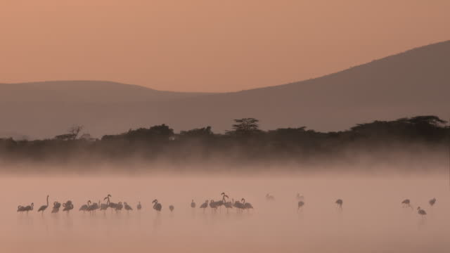 vídeos y material grabado en eventos de stock de animal cinemagraphs, flamingos in the morning mist - kenia