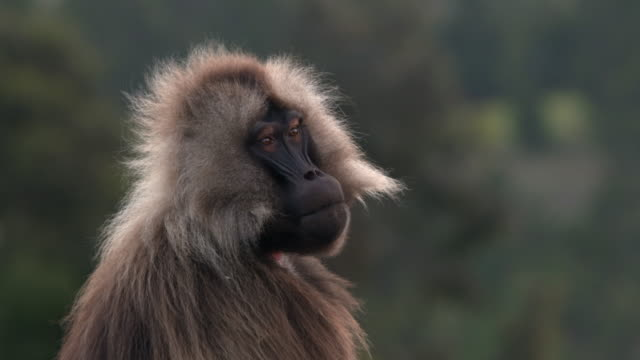 animal cinemagraphs, gelada baboon portrait - baboon videos stock videos & royalty-free footage
