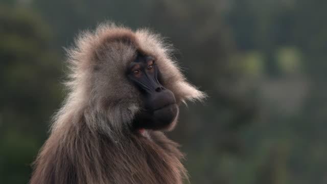 Animal Cinemagraphs, Gelada baboon portrait