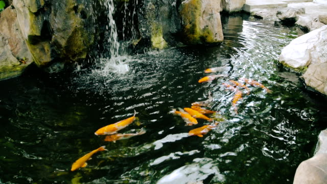 Animal Cinemagraphs : Koi Fish Swim In Pond