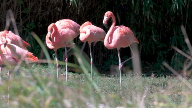 animal cinemagraphs - pink flamingo 4k - flamingo bird stock videos & royalty-free footage