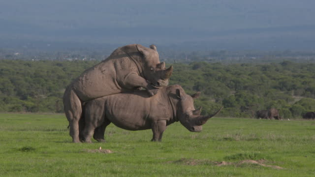 animal cinemagraphs, rhino copulation - two animals stock videos and b-roll footage