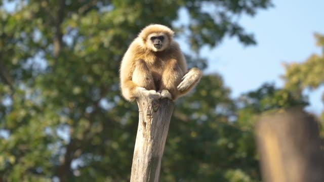 animal cinemagraphs - shaking gibbon ape - balance stock videos & royalty-free footage
