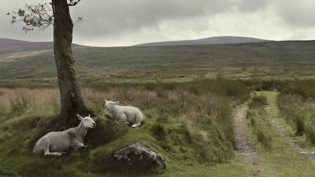 animal cinemagraphs - sheep chewing ireland wicklow mountains - herbivorous stock videos & royalty-free footage