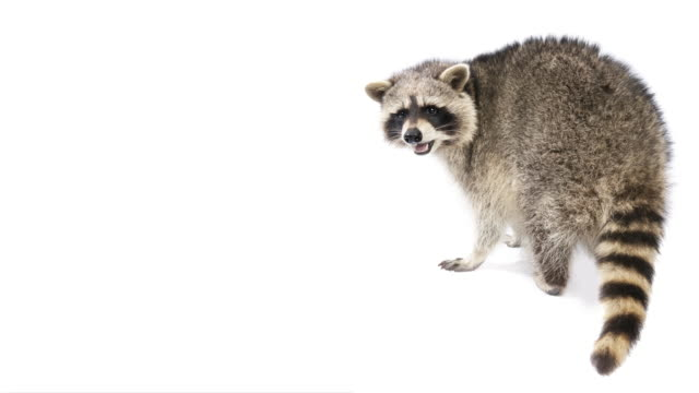 vídeos de stock e filmes b-roll de animal cinemagraphs - talking racoon - looping - animal body part
