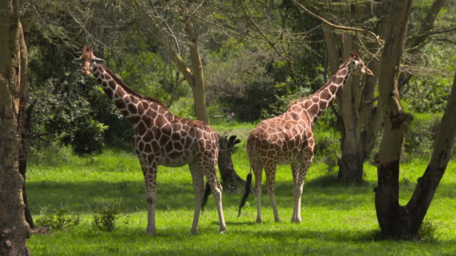 animal cinemagraphs, two giraffes in  a green forest, chewing - young animal stock videos and b-roll footage
