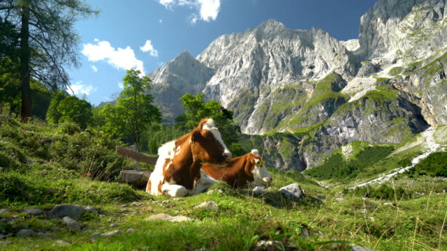vidéos et rushes de animal cinemagraphs - two happy cows relaxing on alpine meadow 4k - bétail