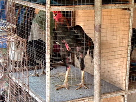 Animal Cruelty: Cock Fighting Roosters in Cages, Blood Sport
