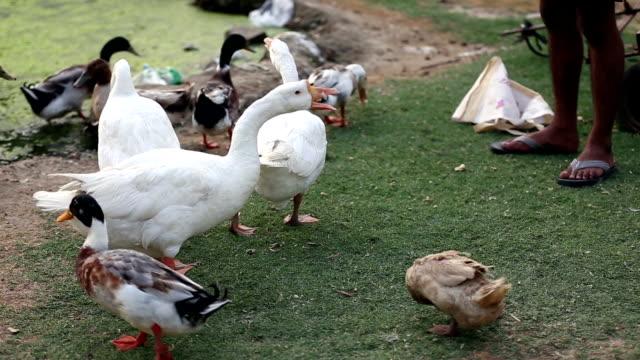 stockvideo's en b-roll-footage met verband met diervoeding - dierenvleugel