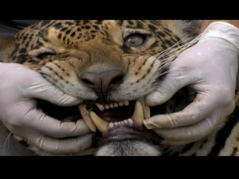 animal handlers examine the teeth of a tranquilized jaguar. - tranquillising stock videos & royalty-free footage