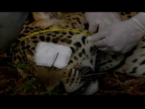 animal handlers measure a tranquilized jaguar. - animal neck stock videos & royalty-free footage