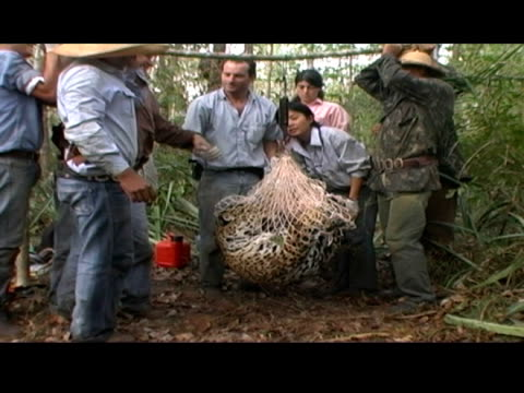 animal handlers weigh a tranquilized jaguar. - tranquillising stock videos & royalty-free footage