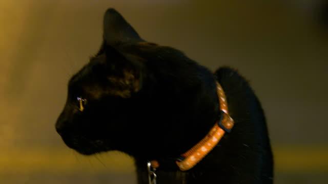 動物の頭部黒猫します。 - 黒猫点の映像素材/bロール