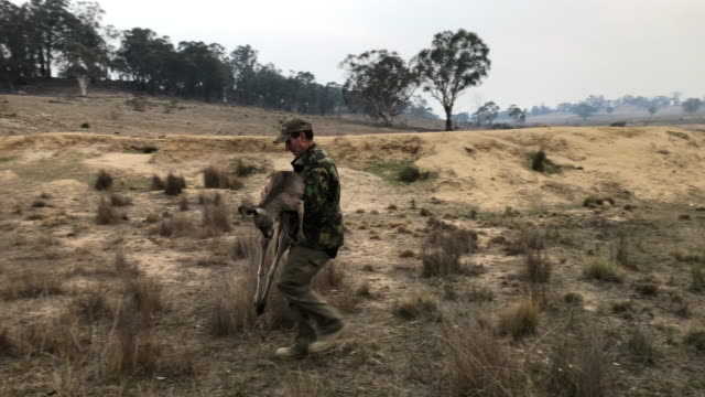 animal rescuer marcus fillinger carries a bushfire burned kangaroo on february 4, 2020 in peak view, australia. the dart gun specialist had... - 救う点の映像素材/bロール