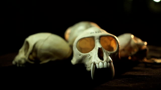 CU Animal skulls on a turn table/ Muldersdrift/ South Africa