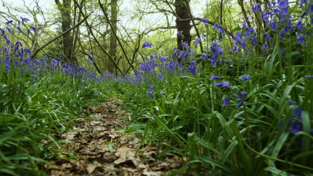 animal pov track along leafy path through bluebells - le quattro stagioni video stock e b–roll