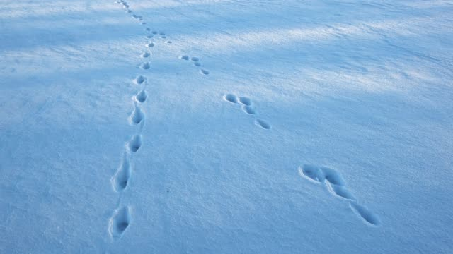 animal trail in snow - paw print stock videos & royalty-free footage