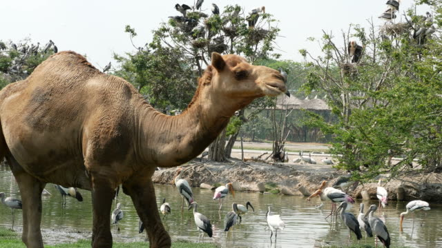 animal worldwide , camel and Freshwater Bird