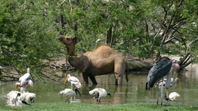 animal worldwide , camel and Freshwater Bird