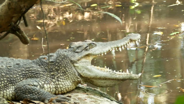 animal worldwide , crocodile open mouth - mouth open stock videos & royalty-free footage