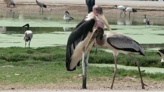 animal worldwide ,  freshwater bird , marabou stork - pelican stock videos & royalty-free footage