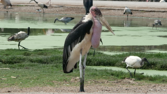 animal worldwide ,  Freshwater Bird , Marabou stork