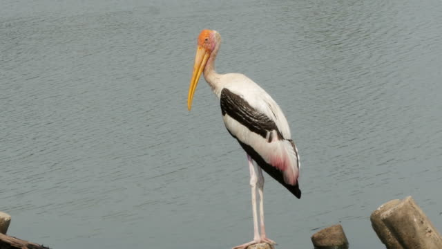 animal worldwide ,  Freshwater Bird , Painted stork