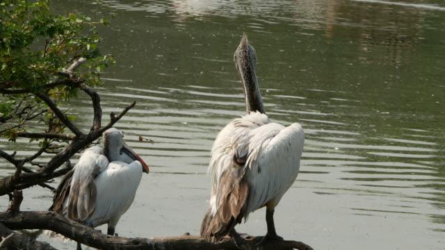 animal worldwide ,  Freshwater Bird , Pelican
