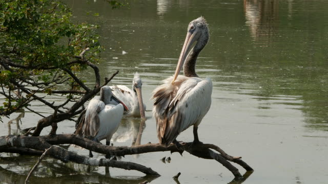 animal worldwide ,  Freshwater Bird , Pelican