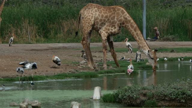 animal worldwide , giraffe and bird
