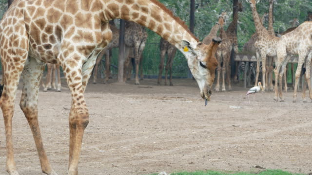 animal dans le monde entier, girafe