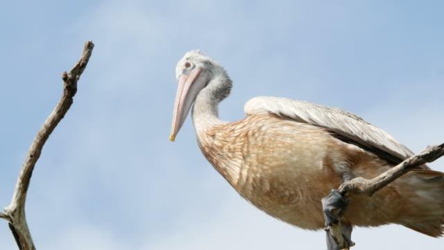 animal worldwide ,  pelican on treetop - pelican stock videos & royalty-free footage