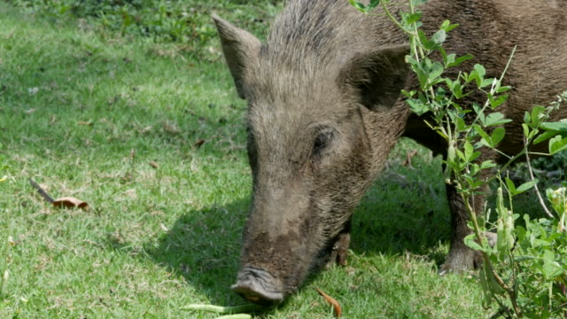animal worldwide , wild boar feeding food - tame stock videos and b-roll footage