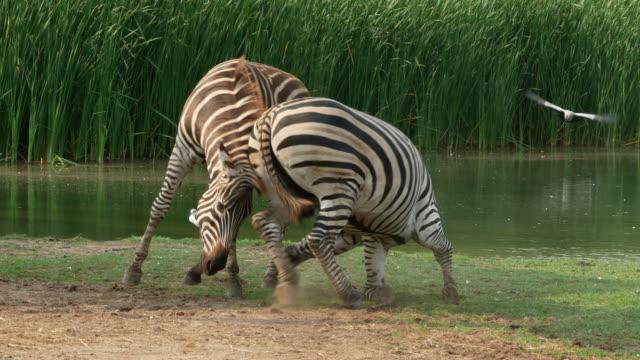 animal worldwide , young zebra playing together