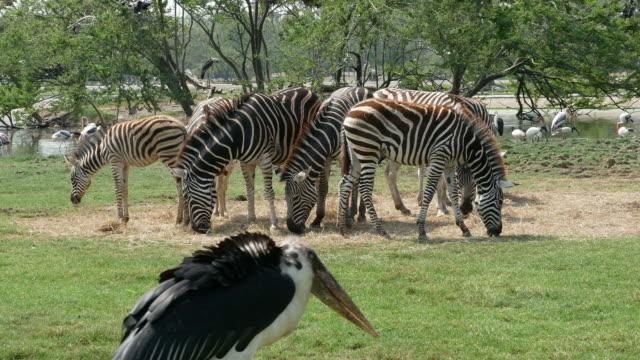 世界的な動物、シマウマと鳥 - 捕らえられた動物点の映像素材/bロール