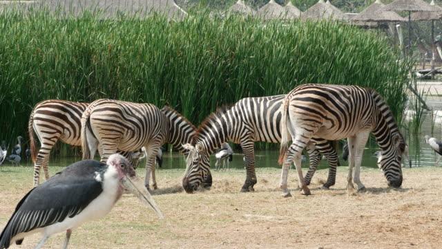 vídeos de stock, filmes e b-roll de animal em todo o mundo, o zebra e o pássaro - jardim zoológico