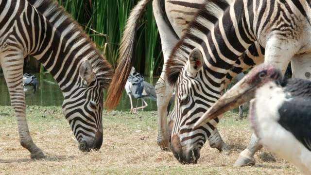 animal worldwide ,zebra and bird