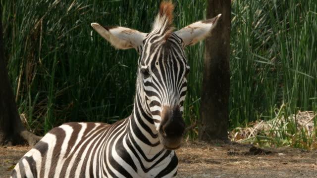 動物世界、ゼブラ - 捕らえられた動物点の映像素材/bロール